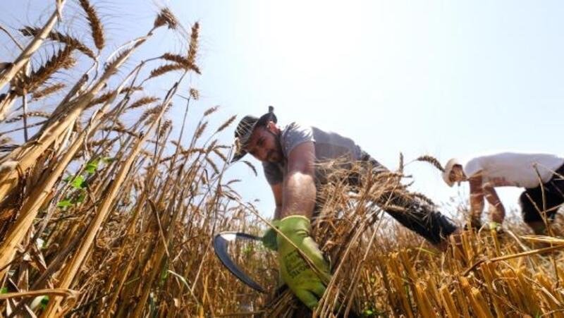 Nilüfer Belediyesi'nin ekolojik buğdayında hasat dönemi