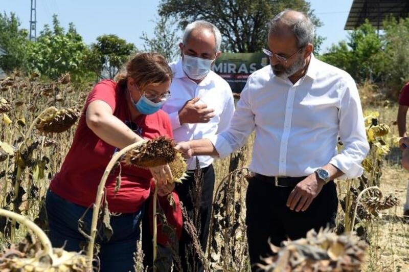 Tarsus'ta yerli ve milli ayçiçeği hasadı