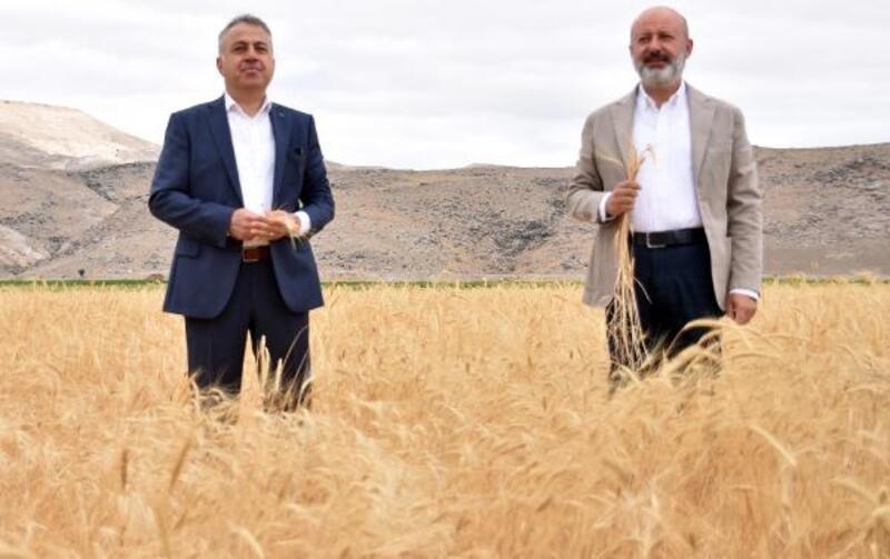 Kocasinan Belediyesinden gacer buğdayı hasadı