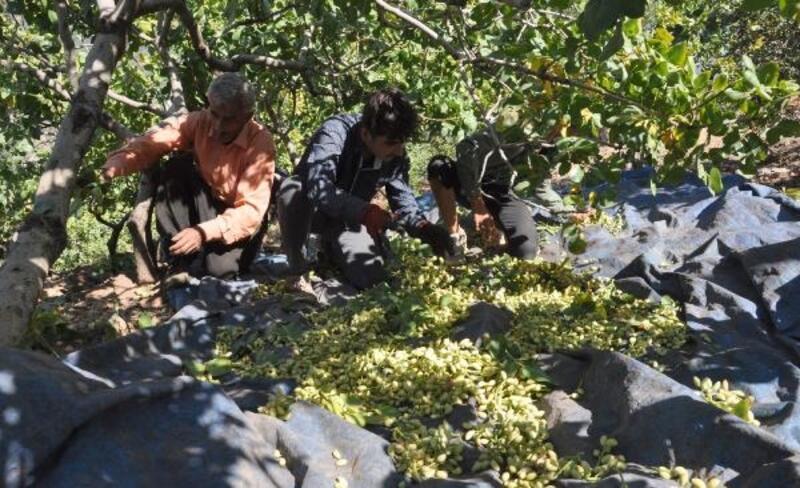 Gaziantep'te 'boz fıstık' hasadı sürüyor
