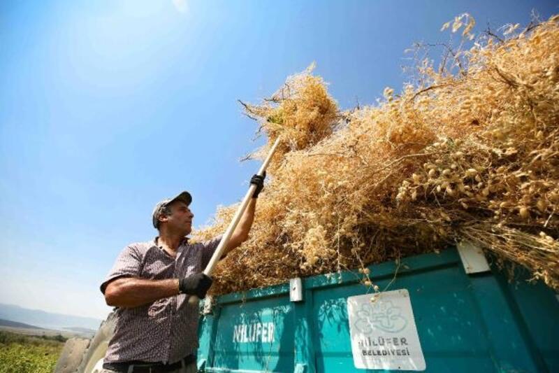 Nilüfer Belediyesi'nin yerli tohumdan doğal nohutlar hasat edildi