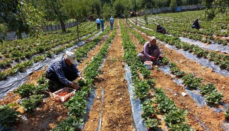 Gaziantep'te çilek hasadı sürüyor
