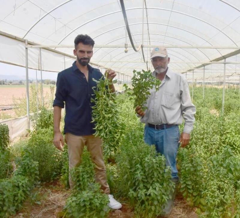 İzmirli çiftçi 'Stevia' bitkisini sevdi