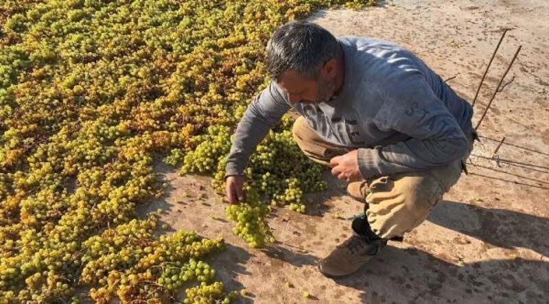 Ömerli'de kuru üzüm mesaisi başladı