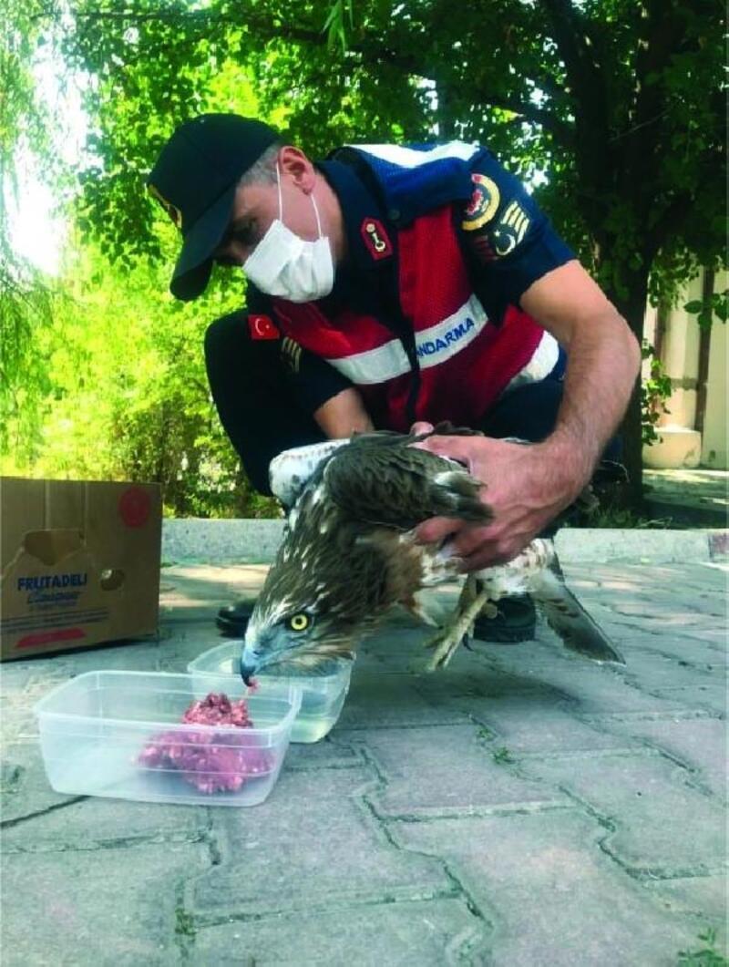 Jandarma yaralı şahini etle besledi