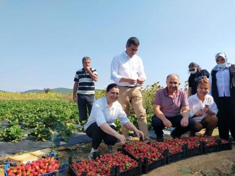 AK Parti'li Aksal, çilek hasadına katıldı
