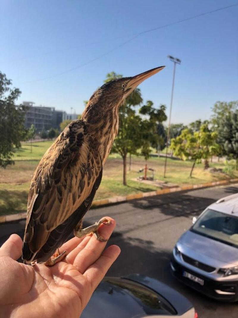 Şanlıurfa'da, iki balaban kuşu bulundu