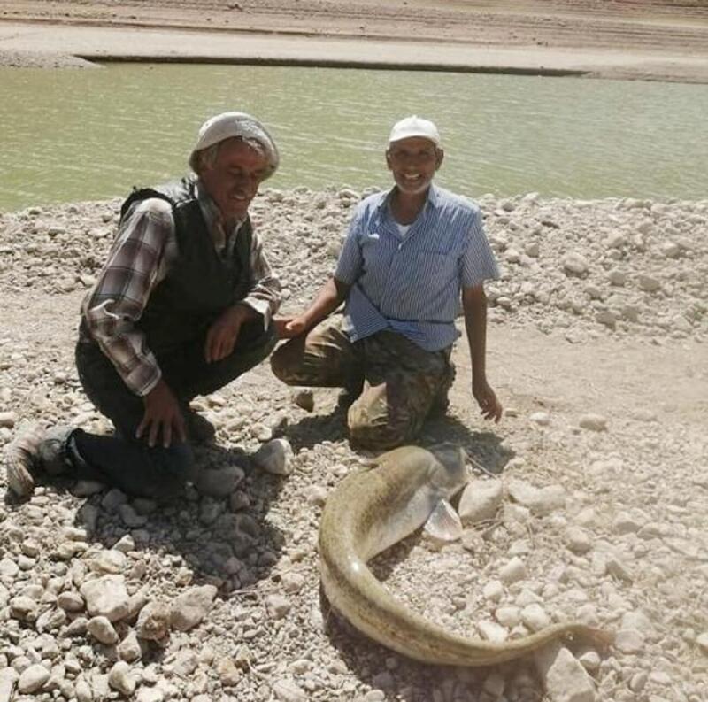 Çamelili balıkçılar dev yayın balığı yakaladı