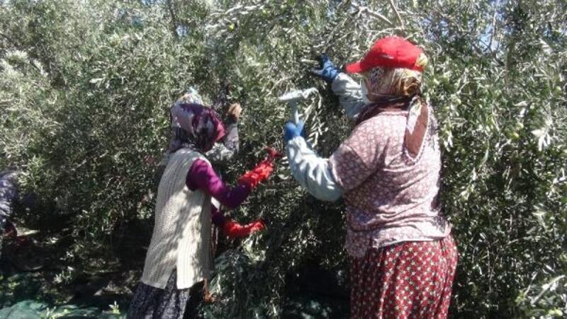 Mersin'de zeytin hasadı başladı