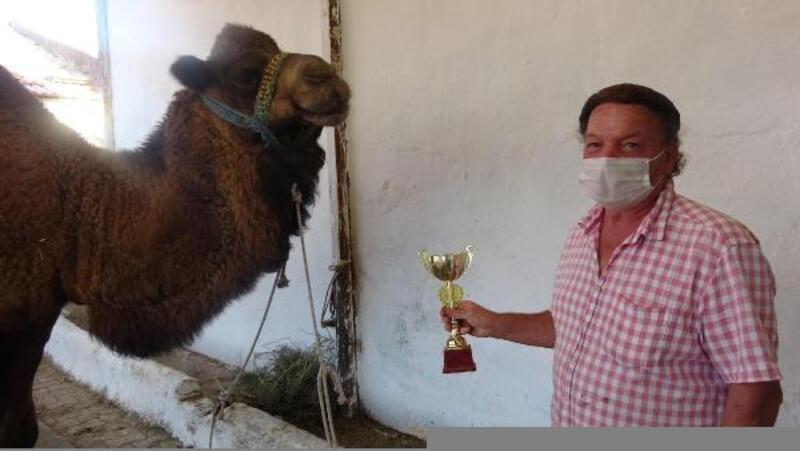 Pehlivan develer güreşlere özel karışımlı besinle hazırlanıyor