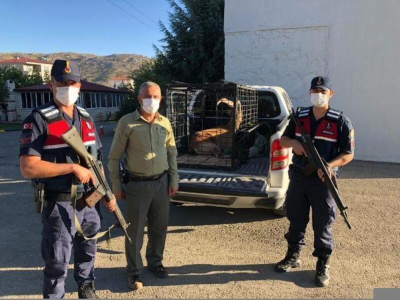 Yaralı bulunan dağ keçisi tedavi altına alındı
