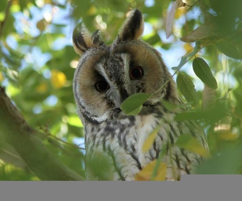 Van'da, 'Kulaklı orman baykuşu' görüntülendi