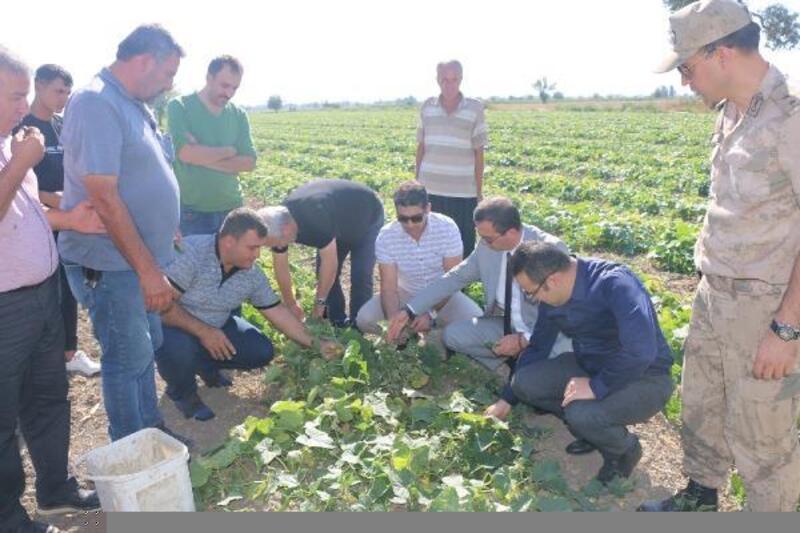 Kozan'da kornişon çiftçinin yüzünü güldürüyor