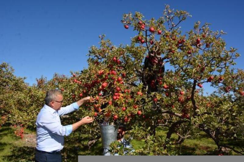 Niğde'de elma üretimi yüzde 25 arttı