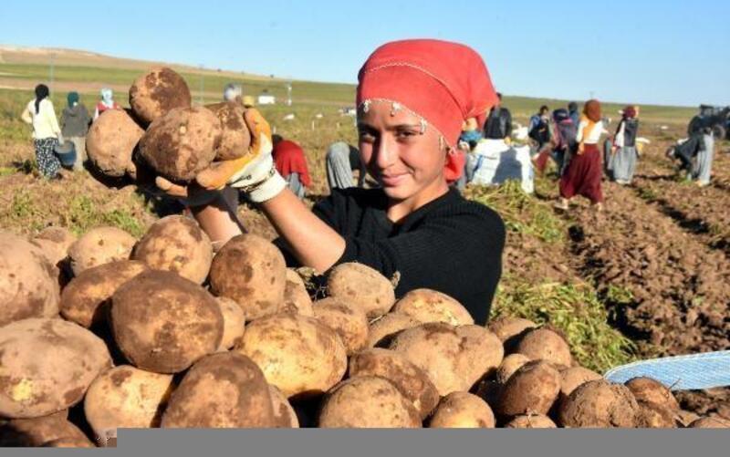 Ahlat'ta patatesten 500 milyon lira gelir bekleniyor