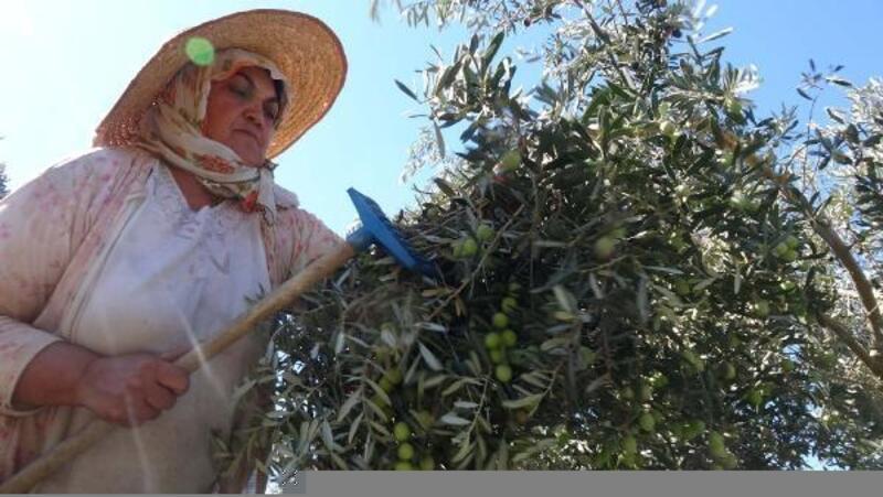 Anamur'da zeytin hasadı başladı
