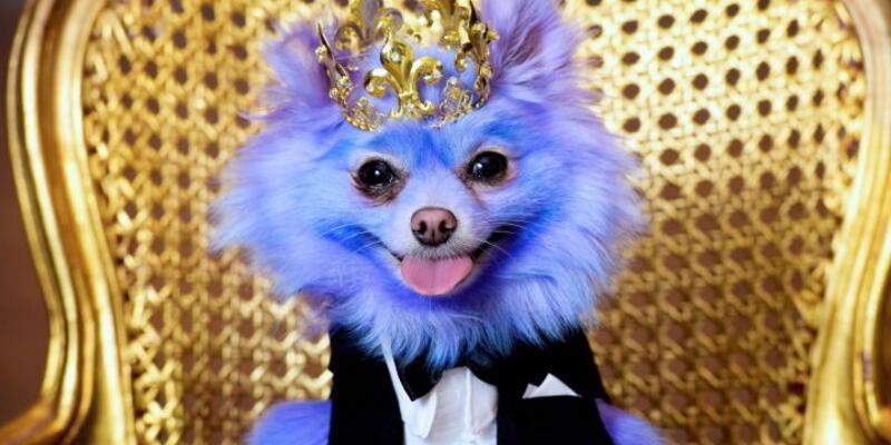 Sadece boyandığında mutlu olan köpek