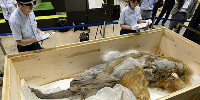 39 bin yıllık mamutun Japonya yolculuğu