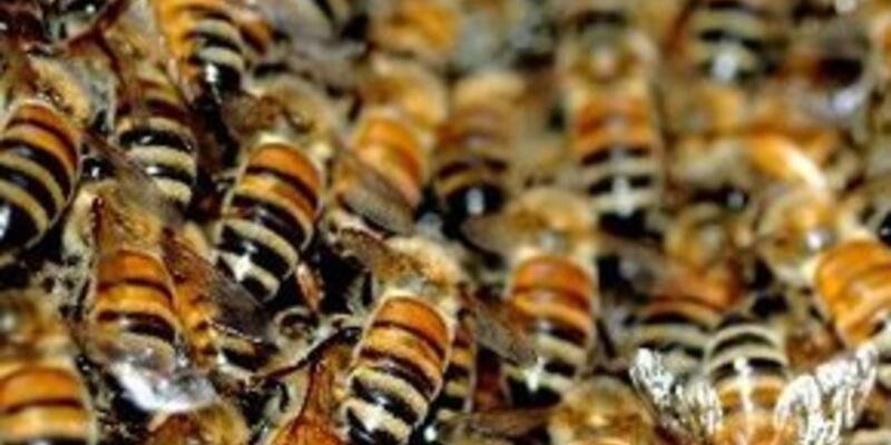 Arıların saldırısına uğrayan kadın öldü