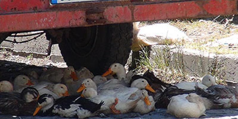 Kaz ve ördeklerin güneşten korunma çabası...