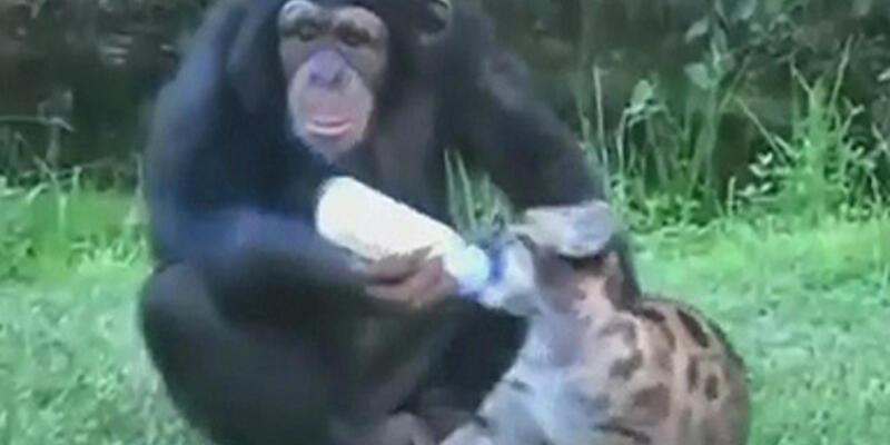 Bakın şu şempanzenin yaptıklarına