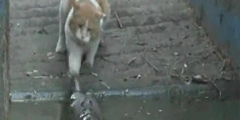 Kedi, timsaha böyle kafa tuttu