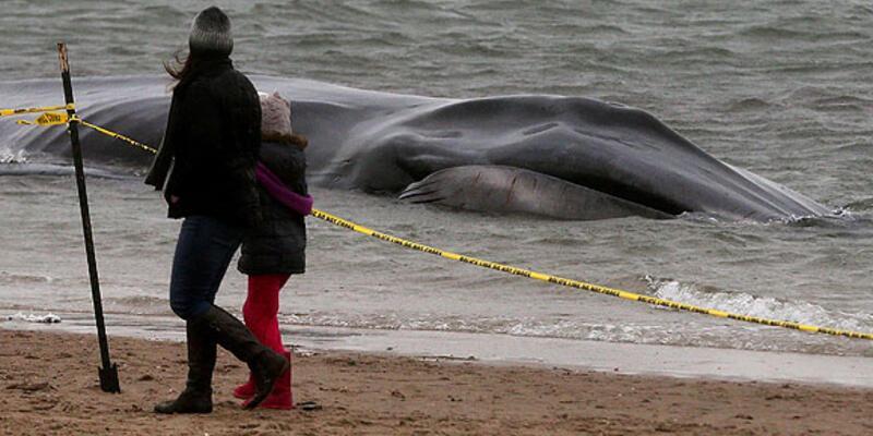 Dev balina New York'ta kıyıya vurdu