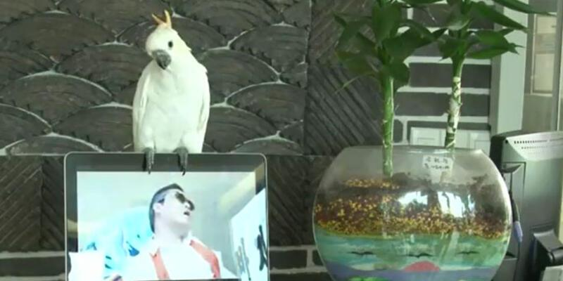 """Bu papağan """"Gangnam Style"""" söylüyor!"""