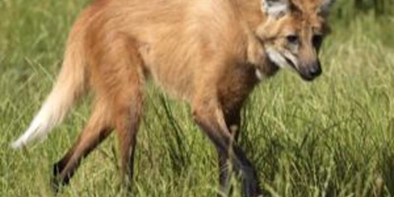 Sekiz hayvan yok olmasın diye klonlanacak