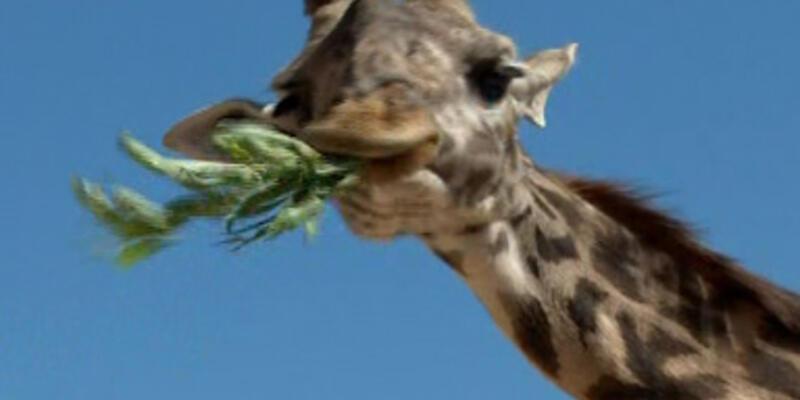 Türkiye'nin ilk cüce zürafası