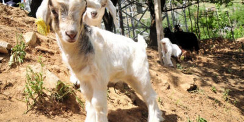 """Yeni """"yerli"""" keçi ırkı"""