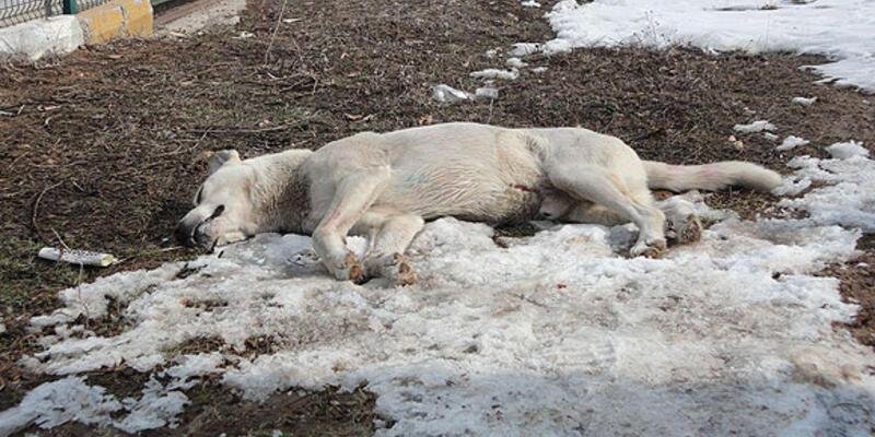 Eskişehir'de 15 köpek zehirlendi