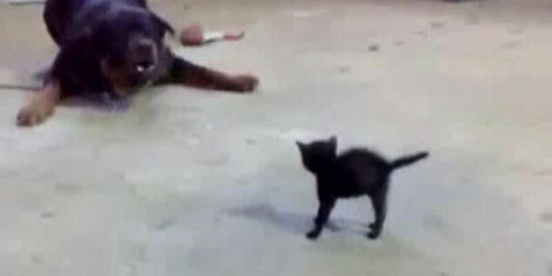Yavru kedi köpeğe karşı
