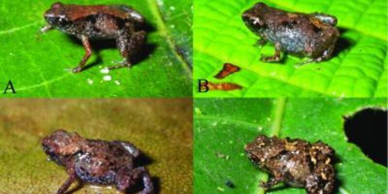 Bu kurbağalar 1 santimetreden kısa!