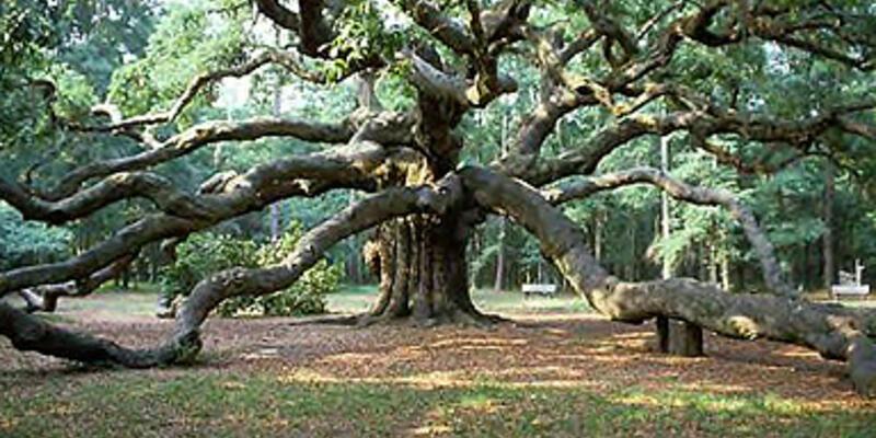 Çınar ağacı, kabak tohumu!