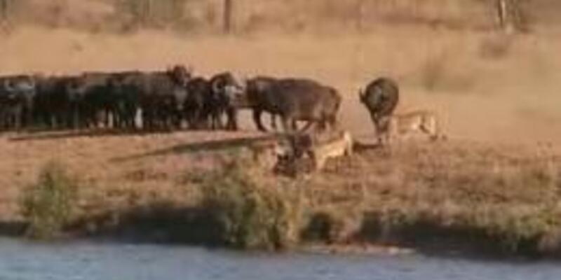 Bufalo, aslan ve timsahın amansız savaşı