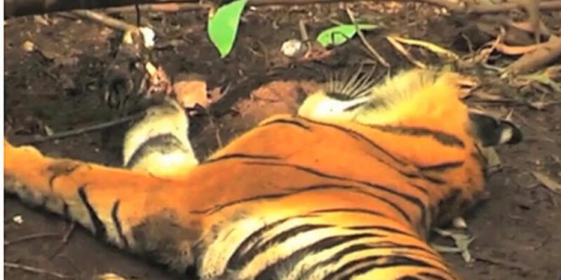 Faili belli cinayet: Bir kaplanın ölümü...