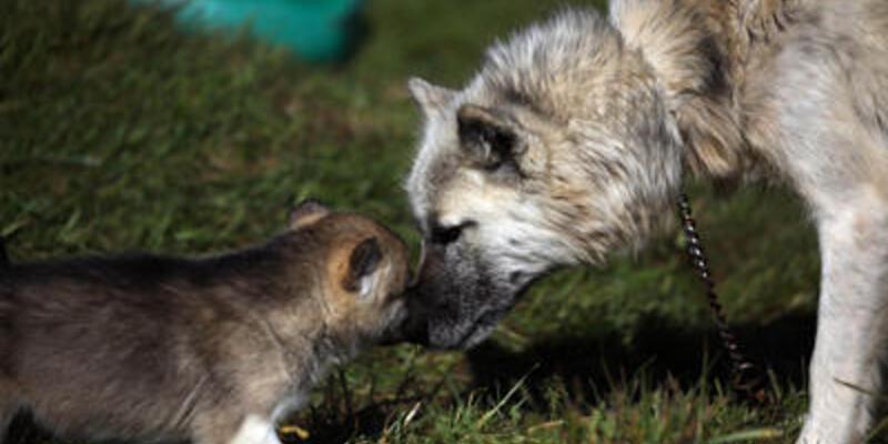 Köpek kanserin kokusunu alıyor
