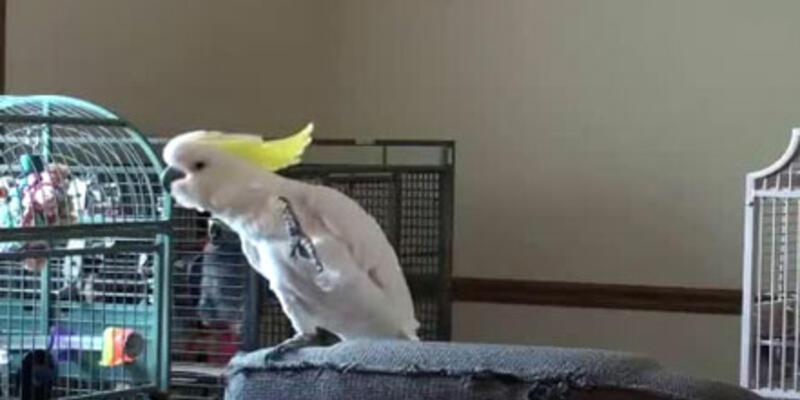Michael Jackson hayranı papağan...