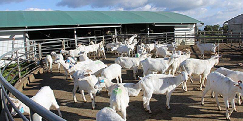 Avustralyalı keçiler İzmirli oldu
