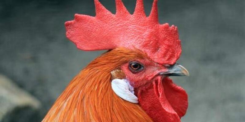 Tavuk Gertie'nin ruhu horozmuş!