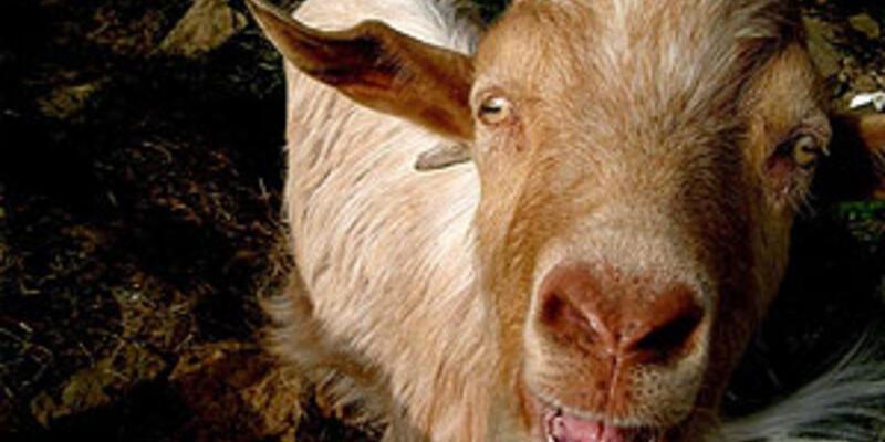 Tecavüze uğrayan keçi için başlık parası