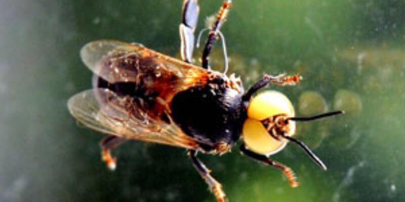 Mutasyona uğrayan arılar kör ve uçamıyor