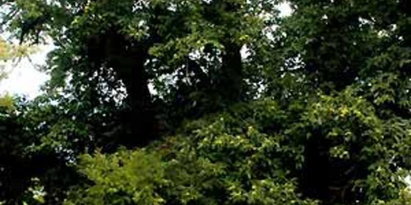 900 yıllık 'Arapastık ağacı'nın film gibi öyküsü