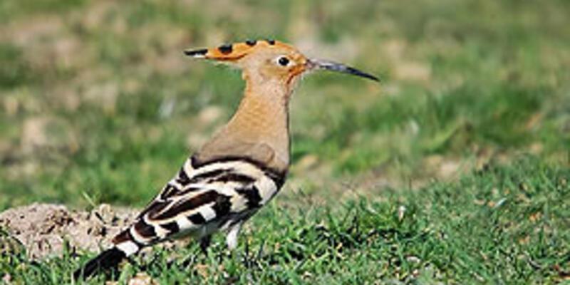 İsrail'in sembolü ibibik kuşu