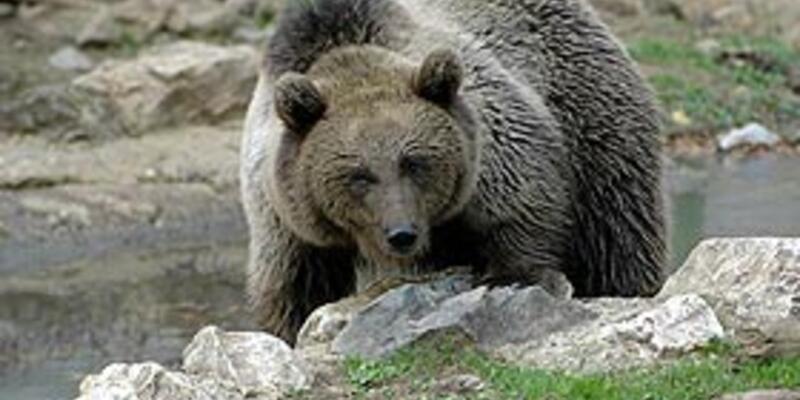 Bakanlığın ayı avı için verdiği izin tartışılıyor