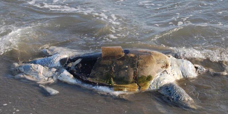 12 caretta ölüsü sahile vurdu