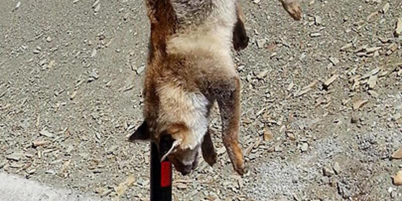 Tilkiye vahşet: Öldürmek yetmedi