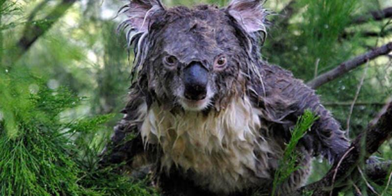 Koalaların sesleri neden çok güçlü?