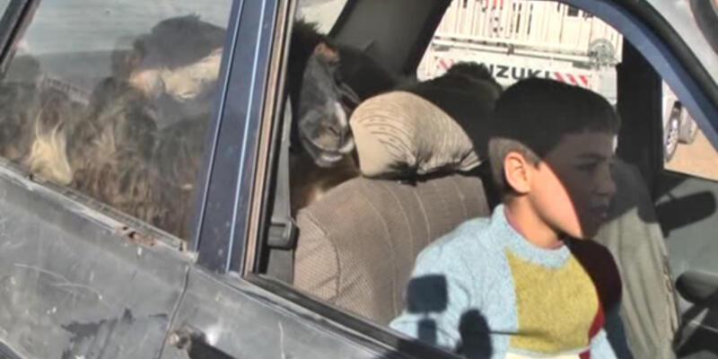 6 koyunu otomobile sığdırdı